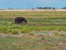 Hipopótamo que anda com o pássaro branco do egret em seu habitat foto de stock royalty free