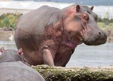 Hipopótamo que anda fora da água Foto de Stock