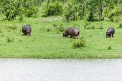 Hipopótamo que anda na grama verde imagens de stock royalty free