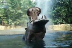 Hipopótamo que aprecia o chuveiro imagens de stock royalty free