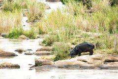 Hipopótamo que bebe fuera del río Foto de archivo