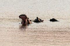 Hipopótamo que boceja Imagem de Stock