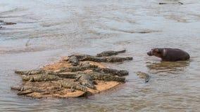 Hipopótamo que camina para arriba a un grupo de cocodrilos Imagenes de archivo