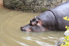 Hipopótamo que consigue en el agua - parque zoológico de Sao Paulo