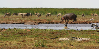 Hipopótamo que dá uma volta ao longo do banco de rio Foto de Stock Royalty Free