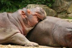 Hipopótamo que descansa no outro animal fotografia de stock