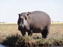 Hipopótamo que levanta-se Imagem de Stock