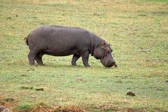 Hipopótamo que pasta em Botswana Fotografia de Stock