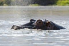 Hipopótamo que respira na superfície da água Imagem de Stock