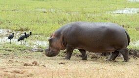 Hipopótamo que sale del agua y de la cigüeña tres Foto de archivo