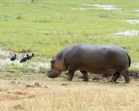 Hipopótamo que sale del agua y de la cigüeña tres Foto de archivo libre de regalías