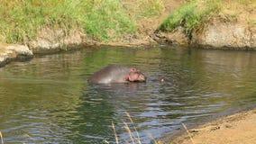 Hipopótamo que se acopla, Masai Mara almacen de video