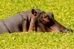 Hipopótamo que se levanta de laguna Imagen de archivo libre de regalías