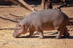 Hipopótamo que tem uma caminhada fotos de stock