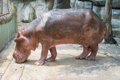 Hipopótamo rosado Imagen de archivo