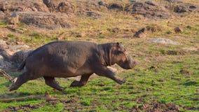 Hipopótamo running Imagens de Stock