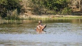 Hipopótamo salvaje en el riverbank, en el parque de Kruger imágenes de archivo libres de regalías