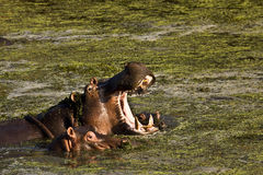 Hipopótamo selvagem que abre sua boca, Kruger, África do Sul Imagem de Stock Royalty Free