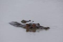 Hipopótamo sob a água Imagem de Stock Royalty Free