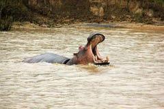 Hipopótamo St Lucia Fotografía de archivo