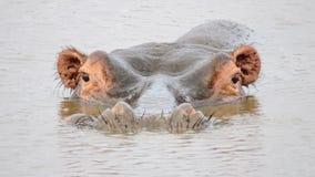 Hipopótamo submerso semi em África Fotos de Stock