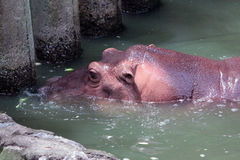 Hipopótamo tímido Fotografia de Stock Royalty Free