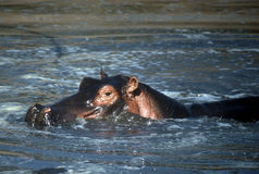Hipopótamo, Tanzânia fotos de stock royalty free
