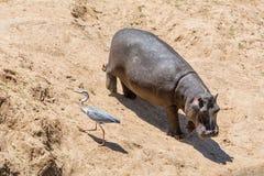 Hipopótamo y garza Imagen de archivo