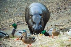 Hipopótamo y patos Imágenes de archivo libres de regalías