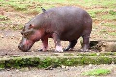 Hipopótamo y pequeño pájaro Fotografía de archivo libre de regalías