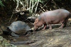 Hipopótamo y tortuga gigante Imagen de archivo libre de regalías