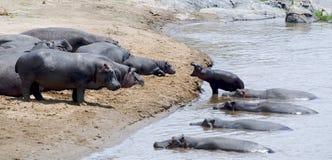 Hipopótamos Imagenes de archivo