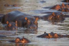 Hipopótamos Foto de Stock Royalty Free
