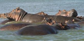 Hipopótamos 3 Fotografia de Stock Royalty Free