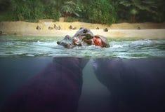 Hipopótamos africanos fotografia de stock