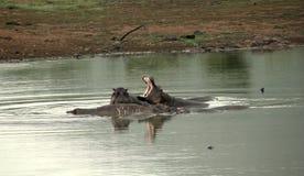 Hipopótamos africanos Foto de archivo libre de regalías
