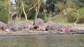 Hipopótamos africanos grandes que descansan sobre las orillas del lago Naivasha, bostezo, sueño metrajes