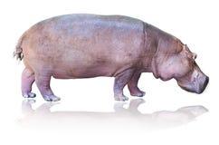 Hipopótamos aislados en blanco Imagen de archivo libre de regalías