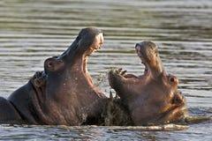 Hipopótamos de la lucha Imágenes de archivo libres de regalías