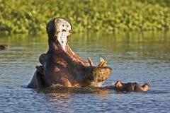 Hipopótamos de la lucha Fotografía de archivo libre de regalías