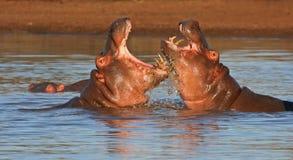 Hipopótamos de la lucha Imagen de archivo libre de regalías