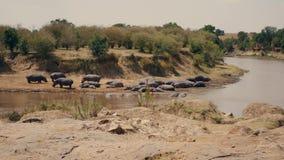 Hipopótamos de la manada que descansan sobre los bancos y en el agua de Mara River en África almacen de metraje de vídeo