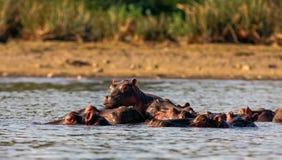 Hipopótamos de Naivasha Macho alfa y familia kenia fotos de archivo