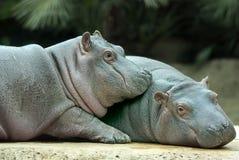 Hipopótamos del bebé Imágenes de archivo libres de regalías