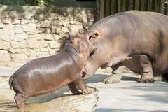 Hipopótamos divertidos imagen de archivo