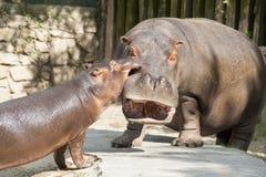 Hipopótamos divertidos imagenes de archivo