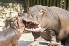 Hipopótamos divertidos fotos de archivo