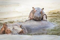 Hipopótamos divertidos imagen de archivo libre de regalías