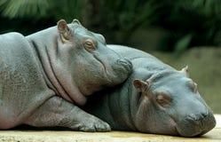 Hipopótamos do bebê Foto de Stock