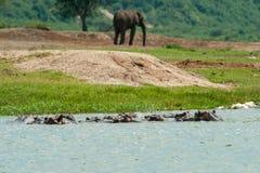 Hipopótamos e elefante africano imagens de stock